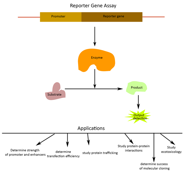 Role of reporter genes to assay for transcription factors & more